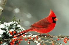 A handsome red cardinal sits on a snow covered branch.