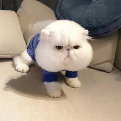 Adorably Chubby And Funny Animals That Make The Day Cute Baby Animals, Animals And Pets, Funny Animals, Funny Cats, Crazy Cat Lady, Crazy Cats, Exotic Cats, Exotic Shorthair, Cute Kittens
