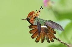 Lophornis ornatus - Pesquisa Google