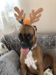 Boxer Sophy Christmas ❤️
