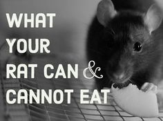 A List of Safe and Dangerous Foods for Your Pet Rat