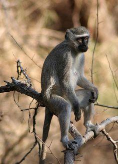 Vervet Monkey (Blou Aap)