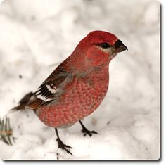 Red #Crossbill – Bird o' the Day – Backyard Wild #Bird Directory –