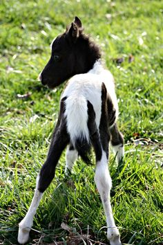 Our newest Addition At Vanity Grove Farm  Colbie's Crazy Wild Child  Filly sired by  McCarthys Hershey Swirl and Vanity Grove Farms Shez Magic Fire (Maggie)  Two Blue Eyes  AMHA and AMHR Eligible