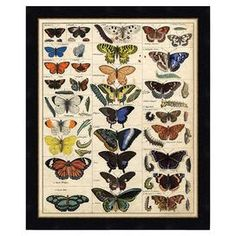 "Butterfly study printed on archival-quality paper with a natural wood frame. Made in the USA.  Product: Framed printConstruction Material: Archival print and woodColor: Black frameFeatures: Made in the USADimensions: Framed: 29"" H x 24"" W Unframed: 22"" H x 17"" W"