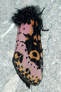 """It's just a little moth, for crying out loud, and it looks as though it's dressed up for cocktails on """"Mad Men."""" It's a Convict Moth, and you'll see more equally beautiful moths and caterpillars in the book """"Owlet Caterpillars of Eastern North America,"""" published by Princeton University Press."""