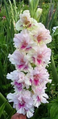 Gorgeous Gladiolus - Sequin Gardens