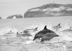 Common Dolphins- Running from an Orca.