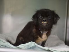 PULLED BY PET RES-Q INC. - 10/31/15 - NIA - A1055461 - - Brooklyn - TO BE DESTROYED 10/31/15   **SAFER EXPERIENCED/ NO SMALL CHILDREN ** FEMALE BLACK PEKINGESE MIX, 8 Yrs - SEIZED -  ONHOLDHERE, HOLD FOR EVICTION, Reason OWN EVICT - Intake Date 10/20/15 Due Out 10/26/15 - CAME IN WITH MIA #A1055465 AND LEO #A1055466