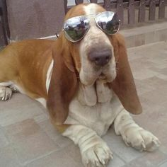 I love hound dogs! This looks just like Bowser, our first Basset!