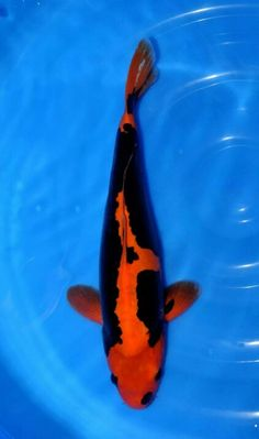 Koi fish on pinterest for Kumonryu koi fish