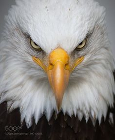 Bird Photography Guide: How to Get Perfect Bird Pictures – Bird Supplies Eagle Images, Eagle Pictures, Bird Pictures, Animal Pictures, Hd Images, Beautiful Birds, Animals Beautiful, Aigle Animal, Animals And Pets