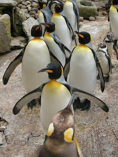 The only group of King penguins in the UK. This is my own photo taken at Birdland in Bourton on the Water, Cotswolds, UK well worth a visit