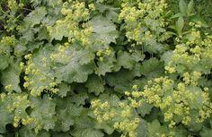 Kortsleht - suurepärane naistetaim, mis sobib salatisse ja haava peale - Alkeemia