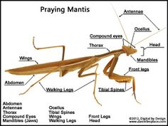 Label the photograph of a praying mantis activity sheet  - from www.daniellesplace.com