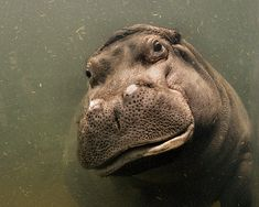 cute. hippo encounter-this one seems almost to be smiling