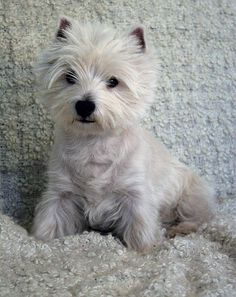 What a westie!