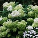 Hydrangea arborescens 'Strong Annabelle'