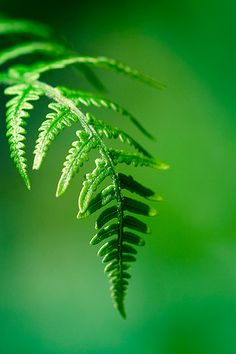 a beautiful fern Photographie Macro Nature, Color Psychology, Green Nature, World Of Color, Green Plants, Nature Pictures, Shades Of Green, Green Colors, Mother Nature