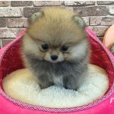 Inquisitive by nature and cute in size, Pomeranians are a true 'toy dog.' Pomeranians are perky and friendly and if you are thinking about getting a p Cute Funny Animals, Funny Animal Pictures, Cute Baby Animals, Animals And Pets, Small Puppies, Cute Puppies, Cute Dogs, Dogs And Puppies, Pomeranian Puppy