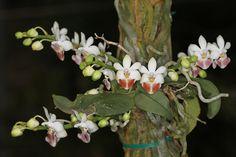 Phalaenopsis Lovely Kid