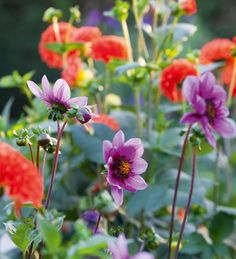 I came across Dahlia 'Blue Bayou' in the wonderful De Boschhoeve Dutch garden three years ago and have only just recently managed to find enough tubers to sell. New and very exciting.