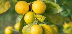 Zitronenbaum richtig schneiden: So gelingt der Schnitt