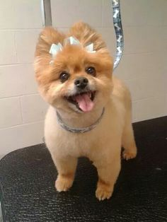 Pomeranian Haircut - Check out these awesome ways you can make your Pomeranian look super stylish! Here are the Top 10 Pomeranian haircut ideas for Toy Pomeranian Puppies, Pomeranian Haircut, Spitz Pomeranian, Cute Pomeranian, Pomeranians, Pomeranian Hairstyles, Dog Grooming Styles, Dog Grooming Tips, Dog Grooming Business