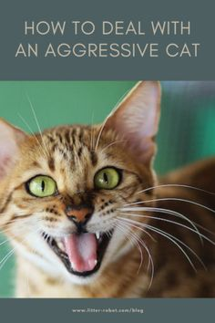 Ask the Vet: How To Deal With an Aggressive Cat | Litter-Robot Blog