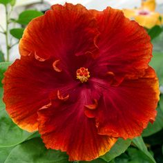 "Exotic Hibiscus.... ""Expect Miracles""...."