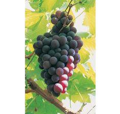 Grape Black Hamburg Online From Jacksons Nurseries Vine Fruit Plants Trees