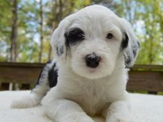 "Check out some of the similarities and differences between the Bernedoodle breed and the Sheepadoodle breed. At Crockett Doodles, we commonly get asked the question, ""Which is better a Bernedoodle or a Sheepadoodle? Sheepadoodle Puppy, Mini Goldendoodle Puppies, Labradoodle, Goldendoodle Adoption, Goldendoodles, Maltipoo, Mini Poodles, Standard Poodles, Plushies"