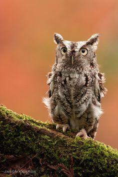 Eastern Screech owl by BigBrotherBear