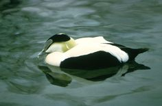 The Eider breeds in freshwater areas near the arctic coast and on arctic islands of North America, Europe an asia. The species winters on the coasts of its range. May sometimes be found at inland freshwater bodies. Feeds on mullusks, crustaceans and aquatic insects as well as some vegetation. To feed the Eider may dive to a depth of 200 feet.