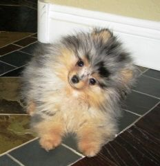 Merle Pomeranians