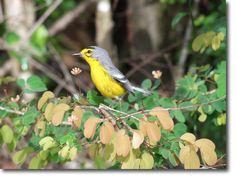 Birding in St. Lucia | St. Lucia Warbler