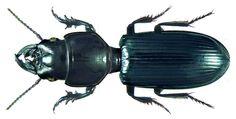 Family: Carabidae Size: 23 mm Location: Senegal, M`Bour, Club Aldiana leg. U.Schmidt, 23.V.-4.VI.1991; det. P.Bulirsch, 2011 Photo: U.Schmidt, 2013
