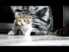 Funny Cats Video Compilation (Fail and win Kittens from Chorus Line) - YouTube