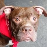 ***BERNIE 12/23/15 Dog • American Staffordshire Terrier Mix • Adult • Male • Medium Second Chance Rescue Flushing, NY