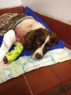 RT @MalvernCops: Trying to trace owner of this Springer #Spaniel, found injured at side of B4197, Martley Hillside.