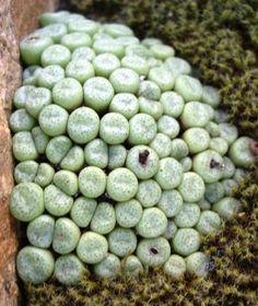 Conophytum truncatum subsp. truncatum