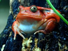 Tomato frogs are like nothing else... Because they are cute + red and RED!!