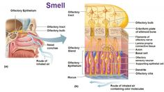smell olfaction epithelium cilia olfactory sensory neurons and basal cells
