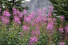 Fireweed, Bow Summit, Banff National Park, Alberta   TravelGumbo