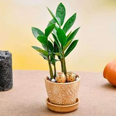 Let's give our heart to nature! Celebrate the season of love with thoughtful green gifts. Choose from a wide range of beautiful indoor plants gifts that are sure to bring a smile to the face of your loved ones. Jade Plants, Fruit Plants, Flowering Plants, Planting Flowers, Planter Accessories, Peace Lily Plant, Lucky Bamboo Plants, Save Mother Earth, Rose Gift