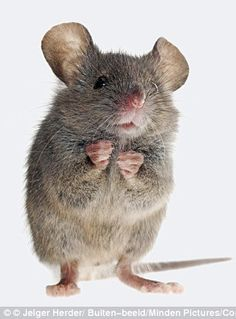 Lovely Creatures, Woodland Creatures, Woodland Animals, Animals And Pets, Baby Animals, Funny Animals, Cute Animals, Mouse Pictures, Animal Pictures
