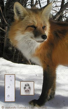 red fox tracks in snow