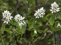 isotuomipihlaja - Amelanchier spicata Flowers, Plants, Florals, Planters, Flower, Blossoms, Plant, Planting