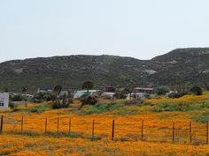 Springbok - Aug 2014 August 2014, South Africa, Vineyard, Flowers, Outdoor, Outdoors, Vine Yard, Florals, Vineyard Vines