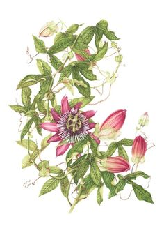 17th Annual Backstory - milly acharya | American Society of Botanical Artists